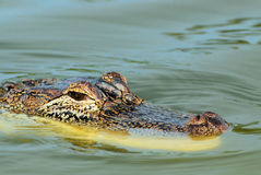 Watchful Alligator Stock Photography