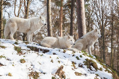 Arctic wolf pack on a hill in winter Stock Photos