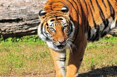Watchful Asian tiger Stock Image