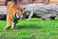 Watchful Asian tiger Royalty Free Stock Images