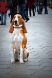 Watchful basset dog. In a crowded city sitting on pavement Royalty Free Stock Photography