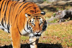 Watchful Bengal tiger Royalty Free Stock Photos