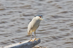 Watchful Black-crowned Night Heron Royalty Free Stock Photo