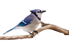 Watchful bluejay on a branch. Profile of a bluejay perched in branch; white background royalty free stock photography