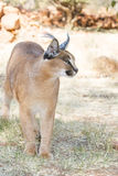 Watchful Caracal Royalty Free Stock Image