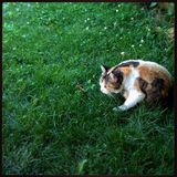 Watchful cat in the grass Royalty Free Stock Image