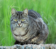 A watchful cat Royalty Free Stock Photography