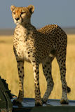 Watchful cheetah Royalty Free Stock Photo