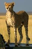 Watchful cheetah. Cheetah in Maasai Mara in Kenya watching for prey from hood of landrover royalty free stock photo