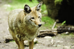 Watchful Coyote Royalty Free Stock Image