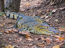 Watchful crocodile. On autumn ground Royalty Free Stock Photo