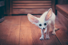 Watchful cute home pet puppy fox stared scared standing on wooden floor in rustic cabin with copy space. Scared cute home pet puppy fox stared scared standing on Stock Image
