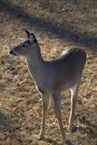 Watchful deer Stock Image