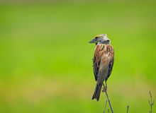 Watchful Dickcissel Stock Images