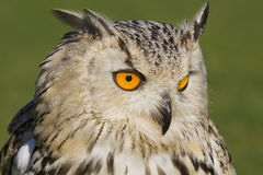 Watchful eagle owl Royalty Free Stock Photography