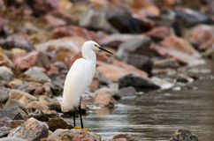 Watchful Egret Royalty Free Stock Image
