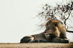 Watchful elegant lion lying on the ground. stock photography