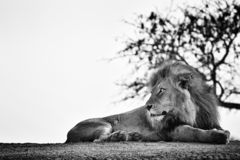 Watchful elegant lion lying on the ground. royalty free stock photography