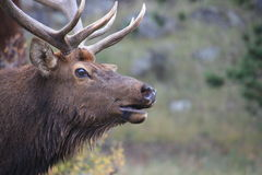 Watchful Elk 1 Royalty Free Stock Photography