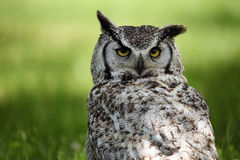 Watchful Eyes. Great Horned Owl against a blurred background Royalty Free Stock Images