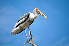 The watchful Eyes. A painted stork are looking from the tip of a tree Royalty Free Stock Photo