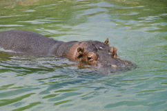 Watchful eyes of a hippo Royalty Free Stock Photos