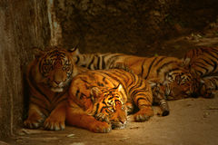 Watchful Eyes of the Tigers Royalty Free Stock Photo