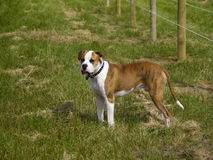 Watchful Farm Dog. American Bulldog watching the horses in the paddock Stock Images