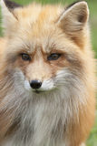 Watchful fox Stock Photography