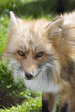 Watchful fox. Portrait of a young european red fox in the meadow in spring, symbol for slyness Stock Photography