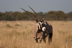 Watchful Gemsbok (Oryx) Stock Image
