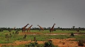 Watchful Giraffes in Tsavo East royalty free stock image