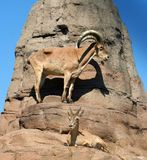 Watchful Goats. A male and a female caucasian tur (a goat from Africa) standing on a ledge Stock Images