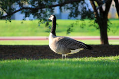 Watchful Goose in Park. A watchful goose hangs out in the park at the Albuquerque zoo Stock Images