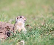 Watchful gopher Royalty Free Stock Photography