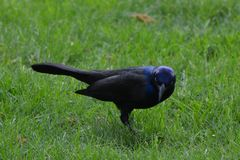 Watchful Grackle Stock Photos