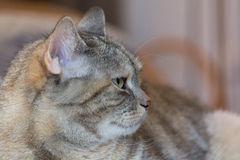 Watchful gray domestic cat Stock Photos