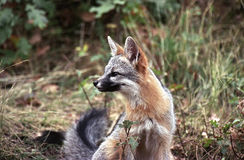 Watchful gray fox. Gray fox sitting and looking to the side in grass and shrub field Royalty Free Stock Image