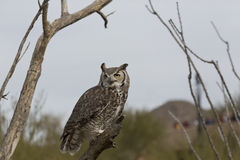 Watchful Great Horned Owl Royalty Free Stock Photography