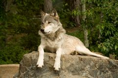 Watchful great plains wolf Stock Photo