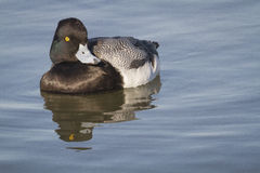 Watchful Greater Scaup. A male Greater Scaup Aythya marila watching intently Stock Images