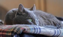 Watchful grey eye cat Stock Photos
