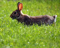 Watchful Hare. Baby Hare eating grass and watching carefully for predators Stock Images