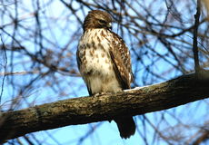 Watchful Hawk Royalty Free Stock Images