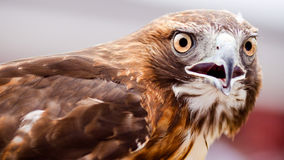Watchful Hawk Stock Images