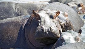 Watchful hippo. At a lake in Serengeti, Tanzania Royalty Free Stock Photography