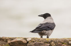 A watchful Hooded Crow. An alert and intelligent Hooded Crow (Corvus cornix) looks at something which has called it's attention Stock Photos
