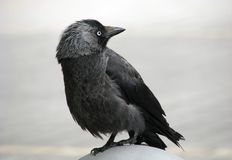 Watchful jackdaw Stock Photos