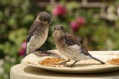 Watchful Juvenile Bluebirds Stock Photo