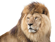 Watchful king Royalty Free Stock Photography